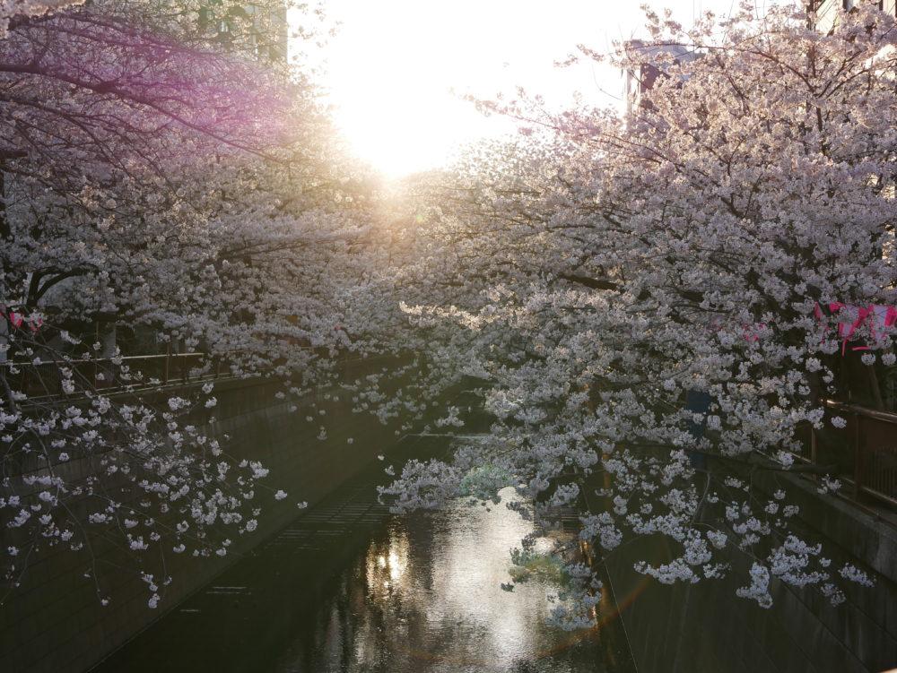 目黒川お花見2018