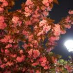 大阪造幣局の桜の通り抜け【2018年】